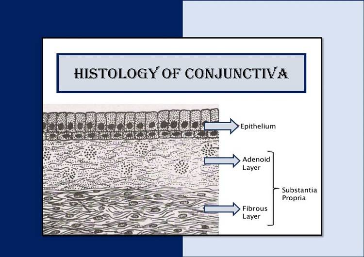 histology-of-conjunctiva-layers