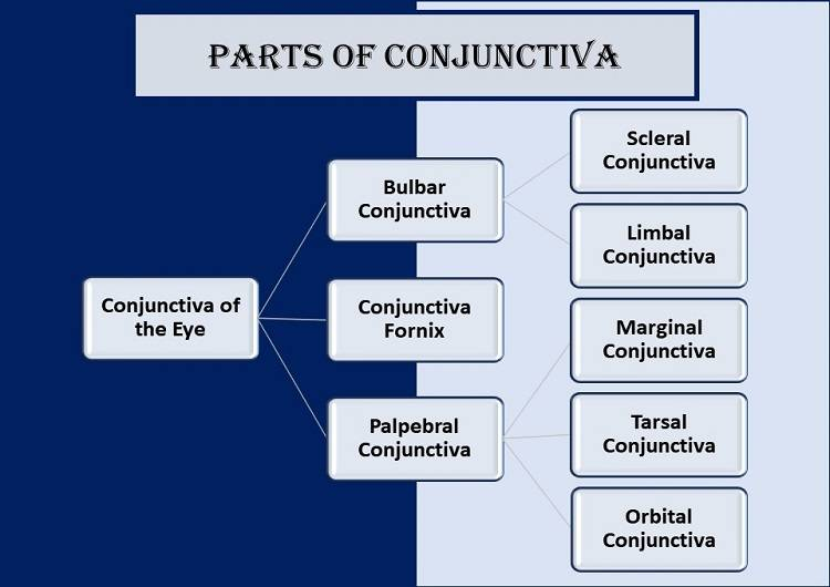 parts-of-conjunctiva-types