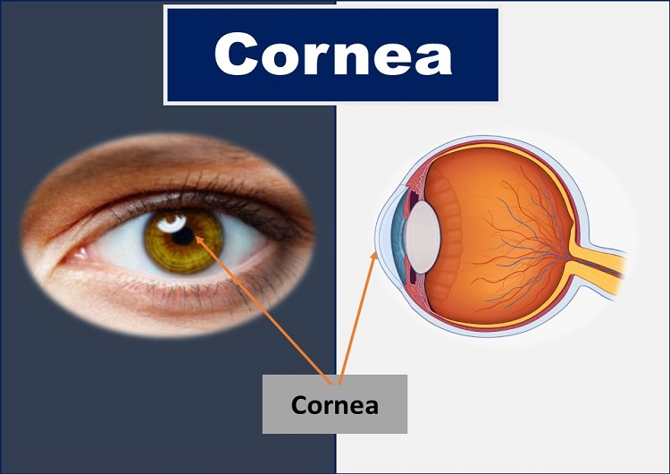 What is Cornea of Eye: Function, Definition, Anatomy, Layers