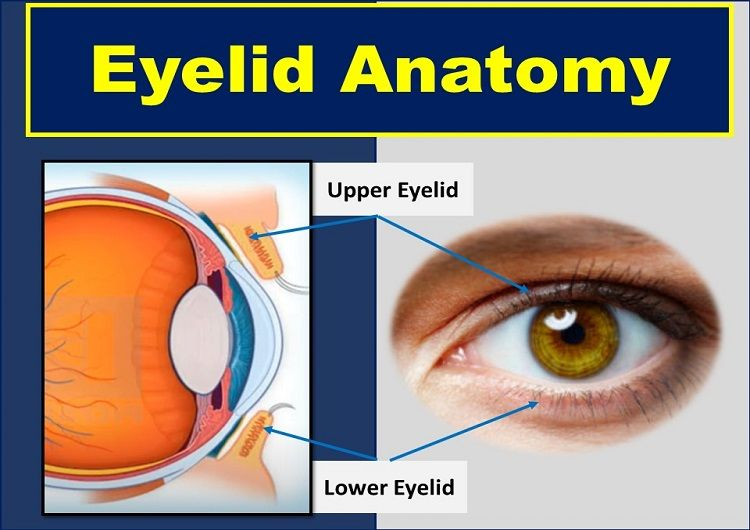 Eyelid Anatomy: Parts, Layers, and Function of Palpebrae